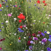 Caren's wildflower mix.