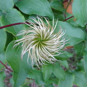 Clematis After It Blooms Seedhead
