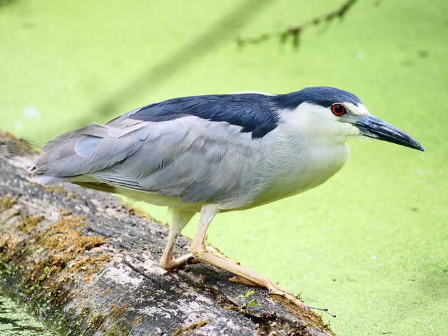 Black-crowned Night-Heron Toronto, ON