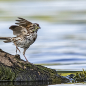 Song Sparrow with Lunch