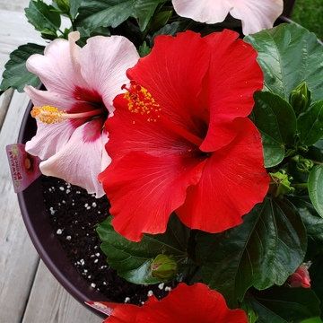 Hibiscus Red and Pink