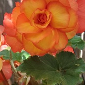 Begonia Beauty