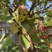 Funny looking pear in my garden.