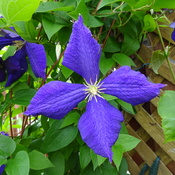 My Two Beautiful Assorted Clematis