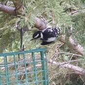 Baby Hairy Woodpecker