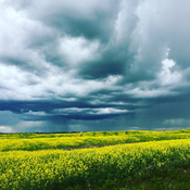 Thunderstorms and canola fields