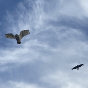 Owl/Crow fly-by