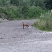 Fox Standing on the Driveway