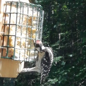 Getting into the suet