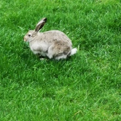 rabbit on okotoks