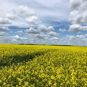 Moosomin Canola farm