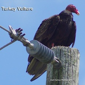 North Ameriican Turkey Vulture
