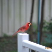 Cardinal in my patio