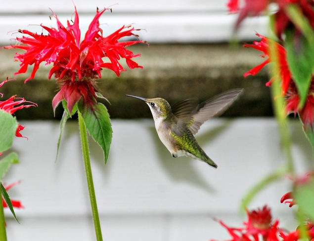 A Female Ruby-throated Hummingbird St. Andrews N.B.
