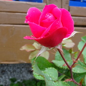 Pretty Mini Rose