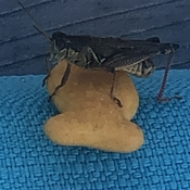 Just a cricket on a goldfish cracker