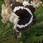 BATTERED BUTTERFLY