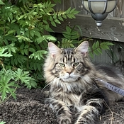 Tugg (Maine Coon) enjoying being the king of his backyard