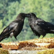 Crow whispers
