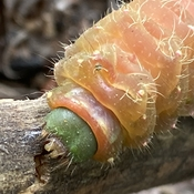 Luna moth caterpillar (I think)