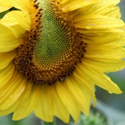 Conjoining Twin Sunflower