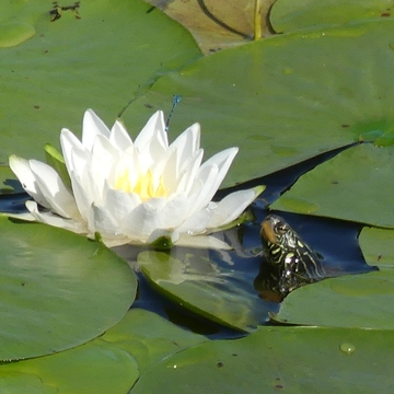 The Turtle and the Lily
