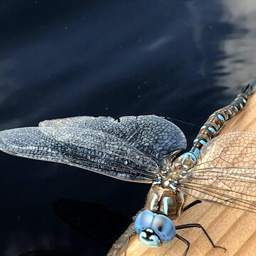 Dragon Fly on dock