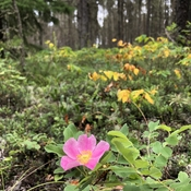 Wild Roses Of The Torch River Forest