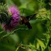 hummingbird moth in thistles