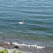 Lone swan at Ajax beach