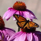 Pretty Monarch Butterfly & Echinachia Flower