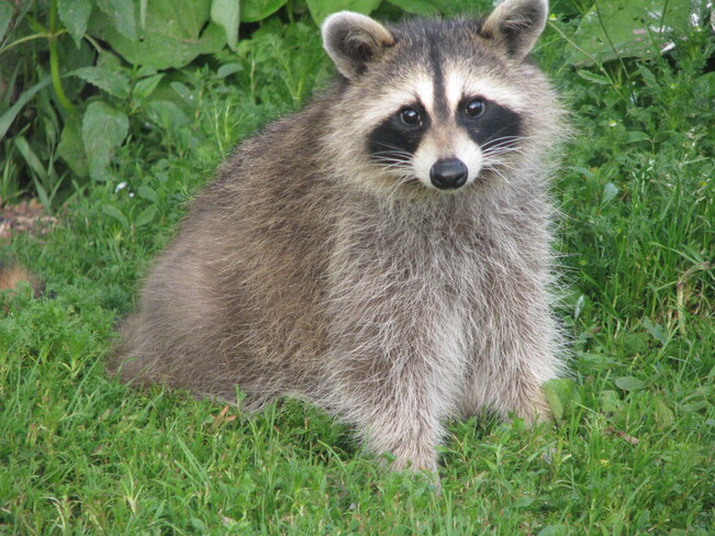 the little racoon Maces Bay, NB