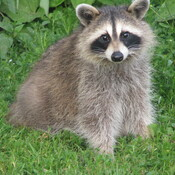 the little racoon