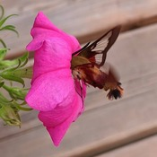 Hummingbird moth on South Lake