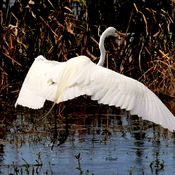 The Great White Heron
