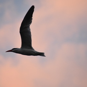 Caspian Tern at dusk