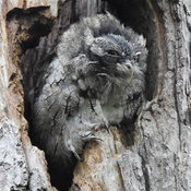 Screech Owl moulting