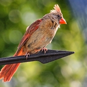 Female Northern Cardinal On Our Garage Weather Vane
