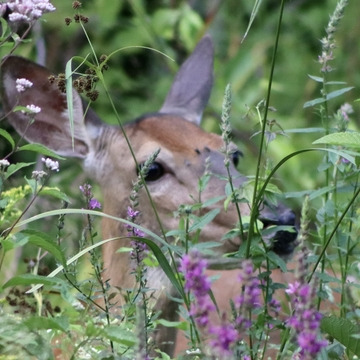 Deer amongst wildflowers