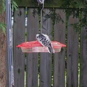 Woodpecker drinking from a hummingbird feeder.