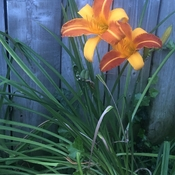 Backyard Lilly