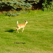 Fawn Romping to join it's twin
