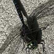 Dragonfly on Wall