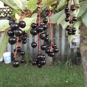 IT`S CHOKECHERRY TIME