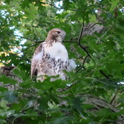 Baby red-tailed hawk