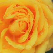 Dew on a Yellow Rose