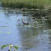 Heron in the Ottawa river