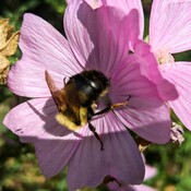 Buzzing on a Mallow