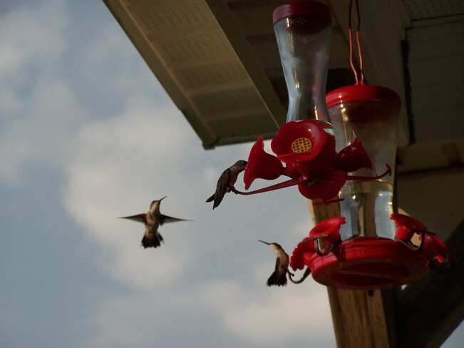 Hummingbird Feeding Frenzy Newtown, Guysborough County, Nova Scotia