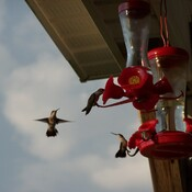 Hummingbird Feeding Frenzy